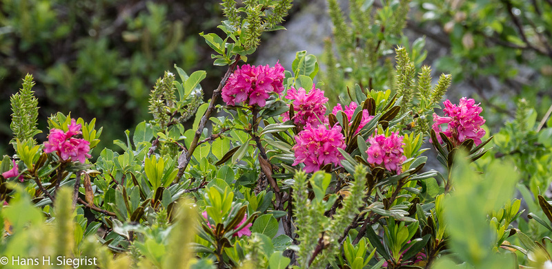 Rhododendron hybr Concerto Alpenrose Concerto